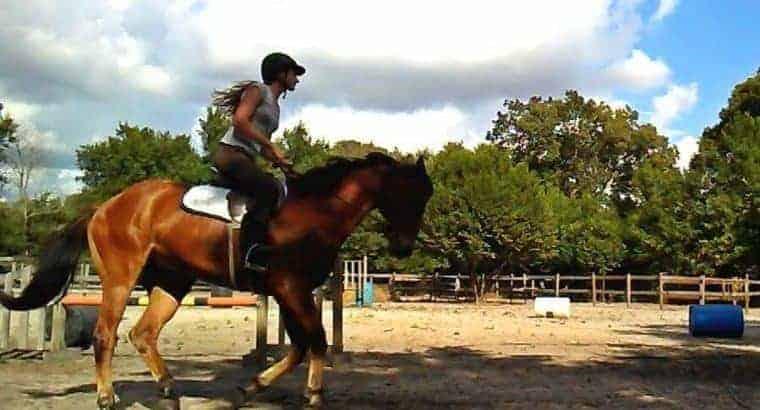 American Warmblood Gelding Dressage Schoolmaster – Trail Horse DELUXE