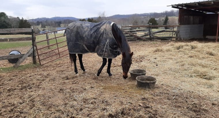 Kill pen rescue 19yr ottb son of Unbridled sound and rideable
