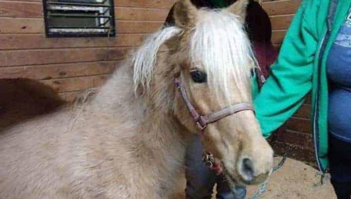 Very typey Welsh cross palomino pony mare