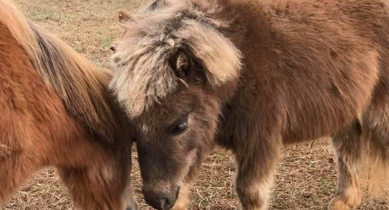 Cute as a button therapy mini mare