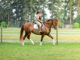 Tall 16.2hh Andalusian 7yr old Mare