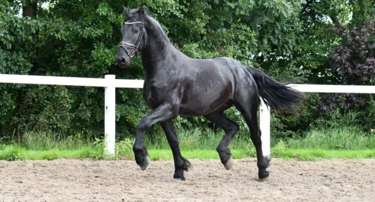 Exceptional new 16.1 hand friesian for sale